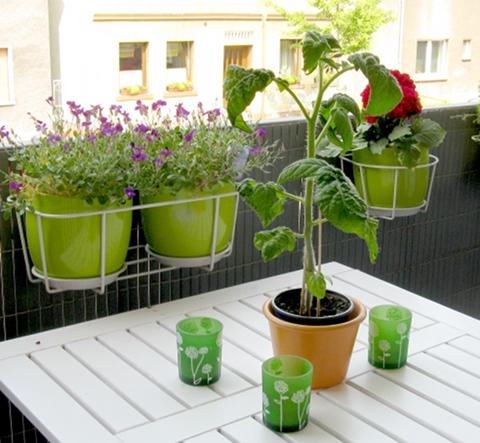 Meine Tomatenpflanze Thorsten Mitte Mai