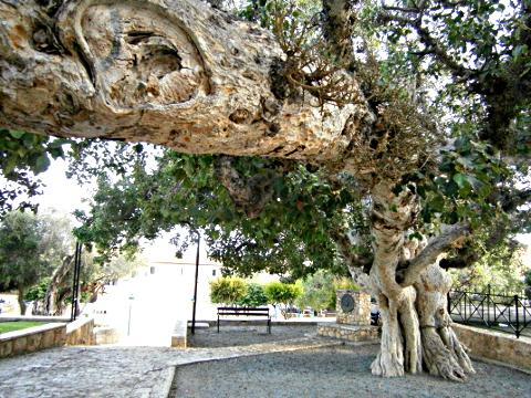 Baum im Kloster von Agia Napa